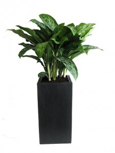 Aglaonema greenlight