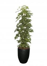 Scefflera arboricola